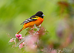 Baltimore Oriole (Icterus galbula) male among ornamental crabapple (Malus sp.) blossoms in spring, New York, USA