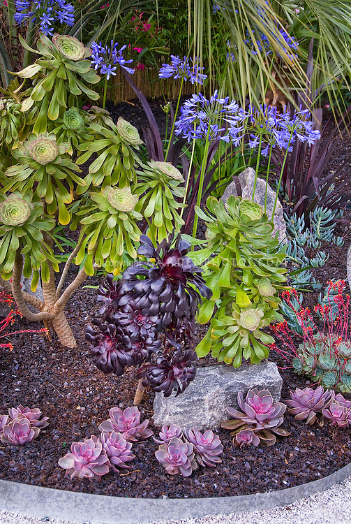 Aeonium, two kinds, green and the purple foliage of Schwarzkopf, with Echeveria, blue flowering summer bulb Agapanthus, tropical plants, rocks