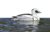 Smew Mergus albellus L 38-44cm. Elegant little diving duck. Male is stunning and unmistakable. Female might be confused with grebe in winter plumage. Sexes are dissimilar. Adult male looks pure white at a distance but close view reveals black patch through eye and black lines on breast and back. In eclipse (not seen here) resembles adult female but retains more extensive white on wing. Adult female, Juvenile and 1st winter birds (so-called 'Redhead' Smews) have orange-red cap and nape, white on cheek and throat, and grey-brown body. Voice Silent. Status Occasional and unpredictable winter visitor. Turns up on flooded gravel pits, reservoirs and lakes.