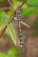 390030012 a wild arrowhead spiketail dragonfly cordulegaster obliqua perches on a stick at big creek scenic area jasper county texas united states