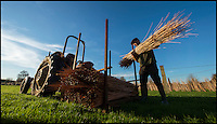 BNPS.co.uk (01202 558833)<br /> Pic: PhilYeomans/BNPS<br /> <br /> The air dried staves are collected...<br /> <br /> One ancient tradition has benefitted from the watery travails of the Somerset levels this year - The annual willow harvest has just begun, with the fast growing tree's putting on 9 feet of growth this year in the damp soil.<br /> <br /> Untill the second war over 3000 acres of the precarious landscape were producing 'Black Maul', the local name for Salix triundra, as they had for thousands of years. <br /> <br /> Farmer Richard Roberts has one of the last surviving willow beds on his farm at the famous battlefield of Sedgemoor in the heart of the levels.<br /> <br /> But despite the drastic reduction in demand as plastic bags and containers took over, his business is now booming as traditional woven products like panniers, baskets and even coffins come back into fashion.<br /> <br /> 'Willow weaving must have been one of the first skills learned by prehistoric man' say's Richard 'And its fantastic that it still has a use in the twenty first century'.