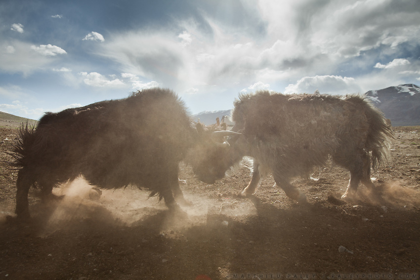 Two young male yaks are fighting in the dust..Summer camp of Muqur, Er Ali Boi's place...Trekking through the high altitude plateau of the Little Pamir mountains (average 4200 meters) , where the Afghan Kyrgyz community live all year, on the borders of China, Tajikistan and Pakistan.