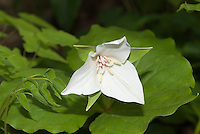 Trillium flexipes - white form flower in spring bloom