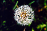 PLANTS<br /> Dandelion Seeds, Wind Dispersed Fruit<br /> Theills, NY