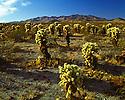 Desert Nevada Scenics Cholla Cactus