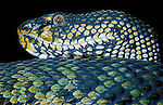 Mangrove Pit Viper, Snake, Trimeresurus purpureomaculatus, green, yellow and black scales, skin, close up showing eyes, poisonous, venemous.S E Asia....