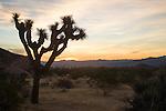 Joshua Tree National Park, California; Joshua Tree (Yucca brevifolia) backlit by the sunrise near White Tank campground