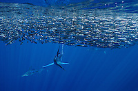 qf0413-D. Striped Marlin (Tetrapturus audax), feeding on Pacific Sardines (Sardinops sagax). Baja, Mexico, Pacific Ocean..Photo Copyright © Brandon Cole. All rights reserved worldwide.  www.brandoncole.com..This photo is NOT free. It is NOT in the public domain. This photo is a Copyrighted Work, registered with the US Copyright Office. .Rights to reproduction of photograph granted only upon payment in full of agreed upon licensing fee. Any use of this photo prior to such payment is an infringement of copyright and punishable by fines up to  $150,000 USD...Brandon Cole.MARINE PHOTOGRAPHY.http://www.brandoncole.com.email: brandoncole@msn.com.4917 N. Boeing Rd..Spokane Valley, WA  99206  USA.tel: 509-535-3489