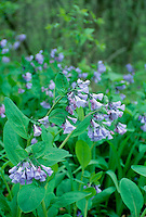 Virginia blue bells, Mertensia virginica, blooming in shade
