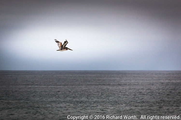 A lone Brown pelican in flight over the gray Pacific waters off California's coast. 3 of 3.