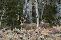 Mule deer buck during the autumn rut in Wyoming