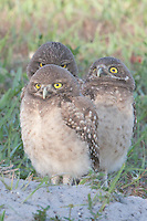 Three Burrowing Owls (Athene cunicularia) fledglings standing near the entrance to their burrow
