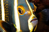 French angelfish, Pomacanthus paru, Cozumel, Mexico.