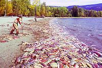 Annual Adams River Sockeye Salmon Run (Oncorhynchus nerka), Roderick Haig-Brown Provincial Park near Salmon Arm, BC, British Columbia, Canada - People cleaning up Dead Fish rotting along Shore of Shuswap Lake