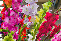 Gladiolus mixed variety colors gladioli summer bulb flowering, red, gold, pink, lavender, green