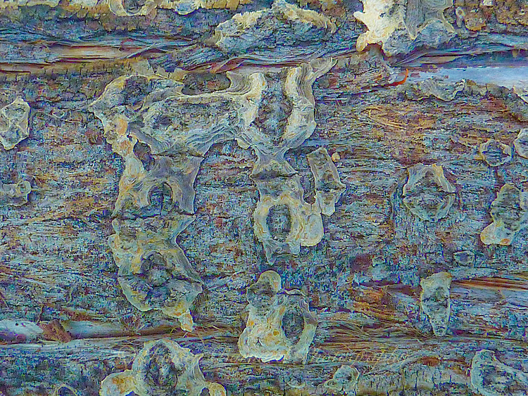 &quot;COTTONWOOD WONDER&quot;<br /> <br /> Macro look at cottonwood tree trunk bark.