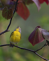 Nashville Warbler with a tiny May Fly just under the radar, left side.