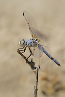 389270014 a wild male bleached skimmer libellula composita near a large pond in southern inyo county california