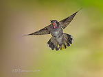 Broadtail Hummingbird (Male) near Oak Creek, Arizona