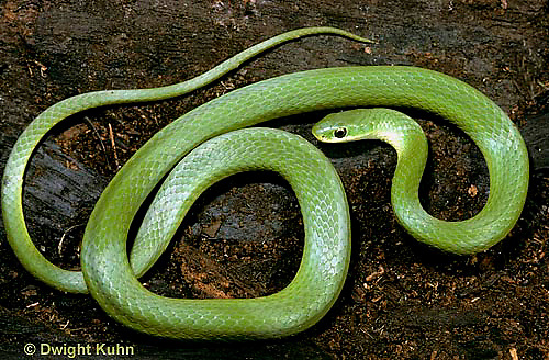 1R04-082b  Smooth Green Snake -  Opheodrys vernalis