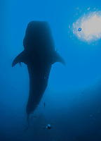 Sylouette of a whale shark.