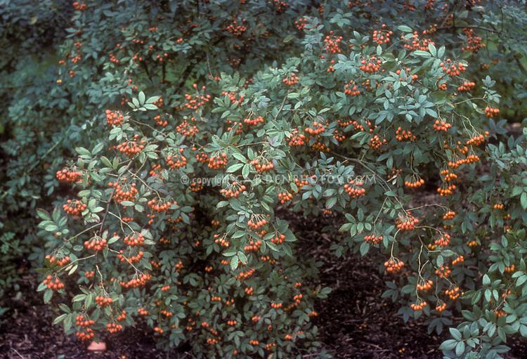 Rosa multiflora, multifloral rose in orange hips, rosehips on entire plant