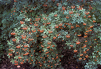 Rosa multiflora, multifloral rose in orange hips, rosehips on entire plant