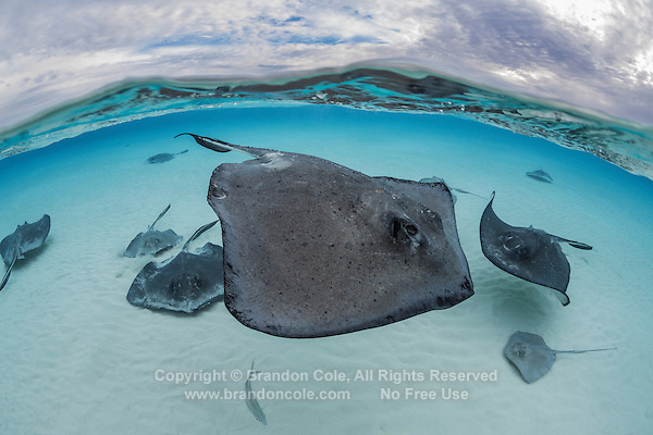 TR6637-D. Southern Stingrays (Dasyatis americana) swimming over shallow sandy bottom just after sunrise. These rays grow to 6 feet wide, females are larger than males. They feed on fish, crabs, clams, shrimp, and worms. Grand Cayman, Cayman Islands, Caribbean Sea.<br /> Photo Copyright &copy; Brandon Cole. All rights reserved worldwide.  www.brandoncole.com
