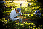 Carlos Garcia picks strawberries at Terra Firma Farm in Winters, CA May 5, 2010.