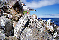 Swallow-tailed seagull and Marine iguana perched on rocks, Galapagos Islands, Ecuador