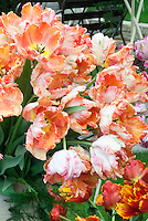 Parrot Tulips Tulipa 'Apricot Parrot' AGM Division 10 many spring flowering bulbs, orange blooms, garden bench