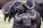 Africa, Kenya, Meru. Buffalo couple of Meru National Park.