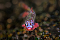 Cardinal Shiner<br />