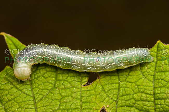 A moth caterpillar (Lithophone sp) perches on leaf.
