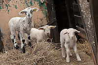 Lambs looks curious at Ferme Eboulmontaise farm in the Charlevoix city of Les Éboulements, Qc. Charlevoix lambs are the first food product in North America to be legally protected based on its region of origin.
