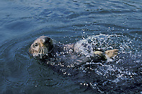 Sea Otter cracking (opening) clam on rock.  Illustrates use of tool.