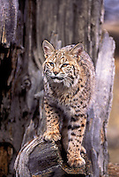 611006141 captive bobcat felis rufus standing in a dead tree in the western us