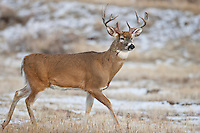 Whitetail buck in Wyoming during autumn rut