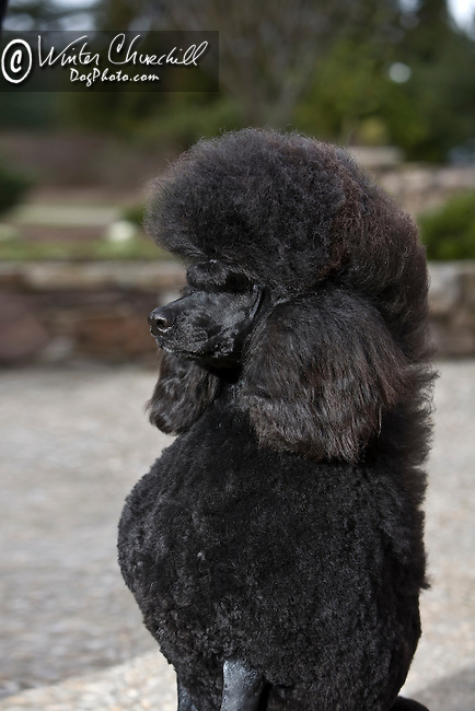 Poodle<br /> <br /> <br /> Poodle Shopping cart has 3 Tabs:<br /> <br /> 1) Rights-Managed downloads for Commercial Use<br /> <br /> 2) Print sizes from wallet to 20x30<br /> <br /> 3) Merchandise items like T-shirts and refrigerator magnets