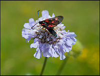 BNPS.co.uk (01202) 558833<br /> Picture: PhilYeomans/BNPS<br /> <br /> Cinnabarr moth on wild Scabious.<br /> <br /> Long hot summer a boost for the bee man of Salisbury Plain.<br /> <br /> One of Britains last wilderness area's is a hive of activity this summer as an army of busy bees swarm across Salisbury plain in Wiltshire.<br /> <br /> Major Chris Wilkes commands an astonishing 8 million bees in 150 hives dotted across the unique enviroment of the plain. The chalkland host's an amazingly wide range of rare wildflowers as 60,000 acres of SSSI have never been treated with modern pesticides.<br /> <br /> The wet winter and dry spring have produced perfect conditions for the diverse flora of the grasslands, with the isolation of the plain creating a cornucopia of the top nectar flowers in the UK  producing a honey with the distinctive flavour of one of Britains last wilderness areas.