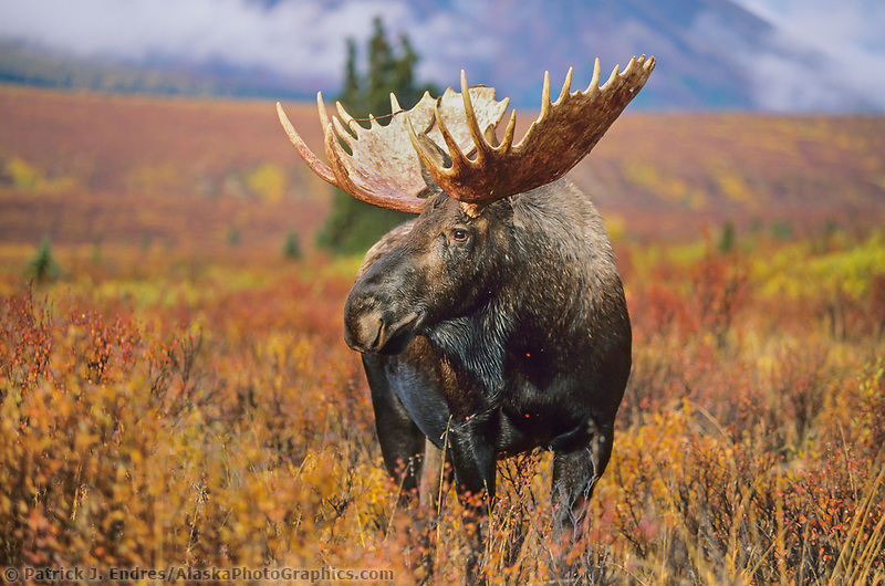 Bull Moose, tundra, autumn, Denali National Park, Alaska