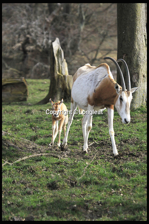 BNPS.co.uk (01202 558833)<br /> Pic: Longleat/BNPS<br /> <br /> *Please use full byline*<br /> <br /> Little and Large show...<br /> <br /> The brave mother and calf, happily alone after the face-off.<br /> <br /> This plucky mother antelope ignores the golden rule of 'pick on someone your own size' and squares up to a whopping rhinoceros in a bizarre stand-off.<br /> <br /> The brave mum refused to back down when the three-tonne beast came a little too close to her newborn calf - and at one point even clashed horns with it.<br /> <br /> The protective mother antelope, called Ramina, kept her days-old baby Phoenix behind her at all times as she valiantly charged at the massive rhino, called Njanu, despite it being 15 times heavier.<br /> <br /> The unlikely scene was caught on camera by staff at Longleat Safari Park in Wilts.