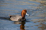 Redhead male (Aythya americana), swimming, Bolsa Chica Ecological Reserve, California, USA