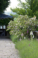 A rose bush grows in a summer border with lavender and foxgloves next to a flagstone path