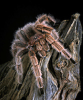The Chilean Rose Hair Tarantula (Grammostola rosea) is native to Chile, captive.