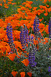 California poppies and lupine at the California Poppy Reserve in Antelope Valley