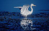 Plumed Egret Yellow waters Kakadu National Park Australia