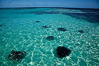Sting rays in shallow reef,    Antigua, Lesser Antilles, Caribbean Sea