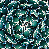 Agave victoriae-reginae
