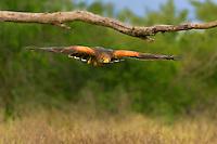 541950088 a wild harris hawk parabuteo unicinctus in flight on a private ranch in the rio grande valley of south texas
